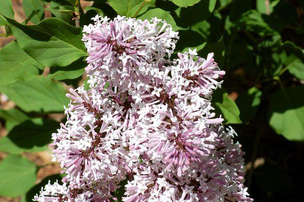 Miss Kim lilac (Syringa pubescens -- subsp. patula)