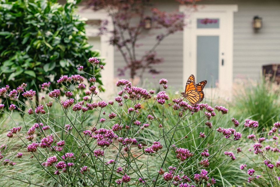 Monarch butterfly on top of pink flowers in front of house