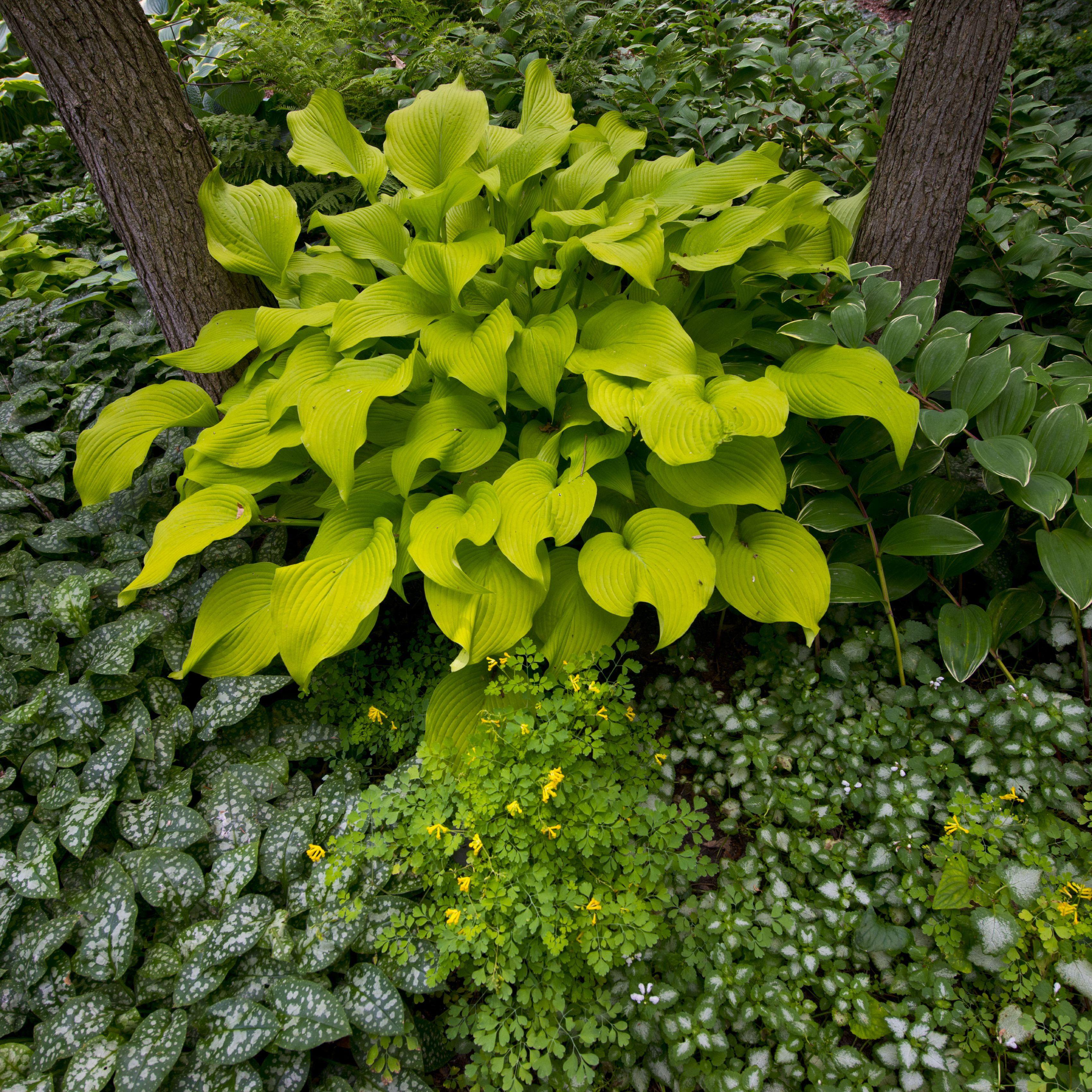 Plant Profile Hosta Hosta Spp