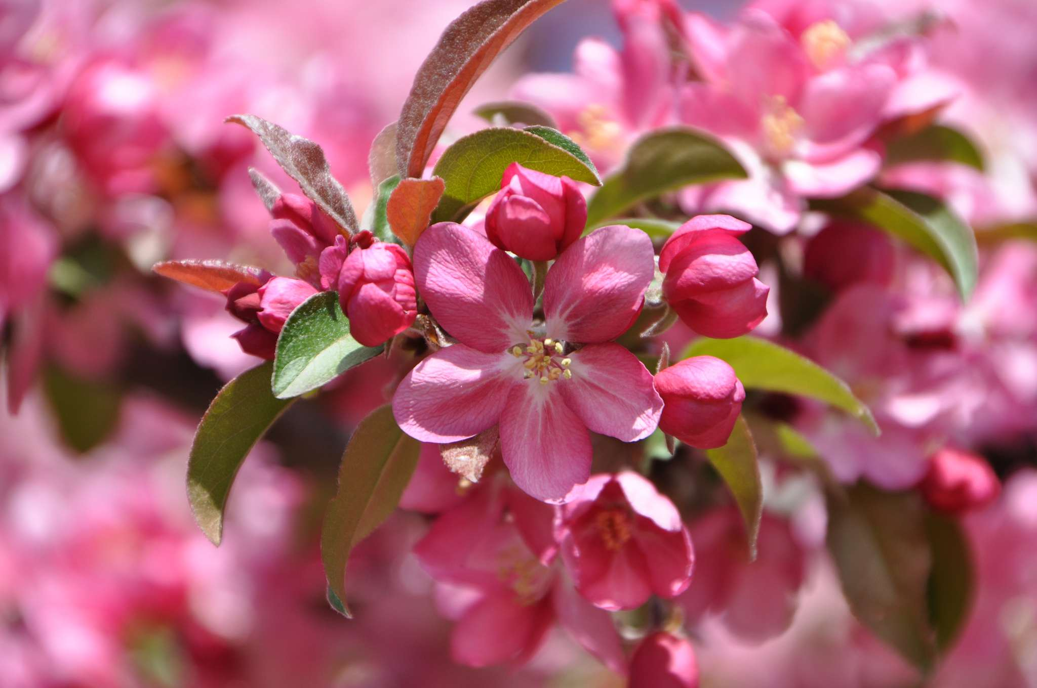 Pink crabapple blossoms in bloom