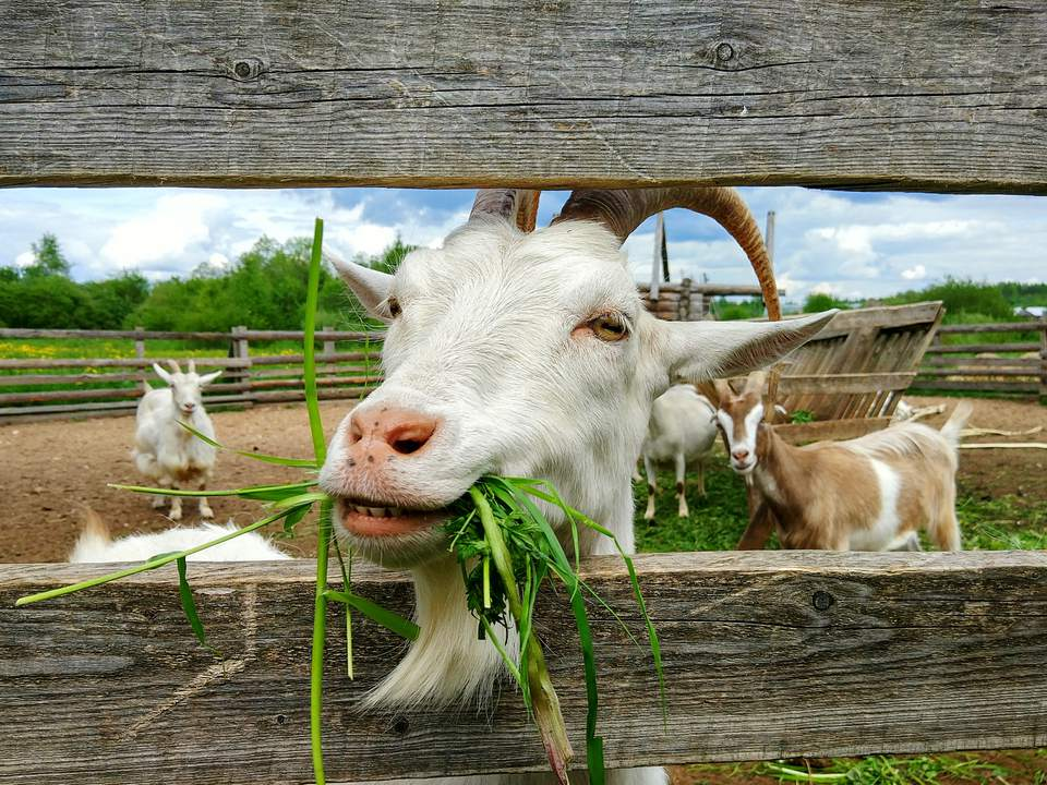 Different Types Of Goat Breeds