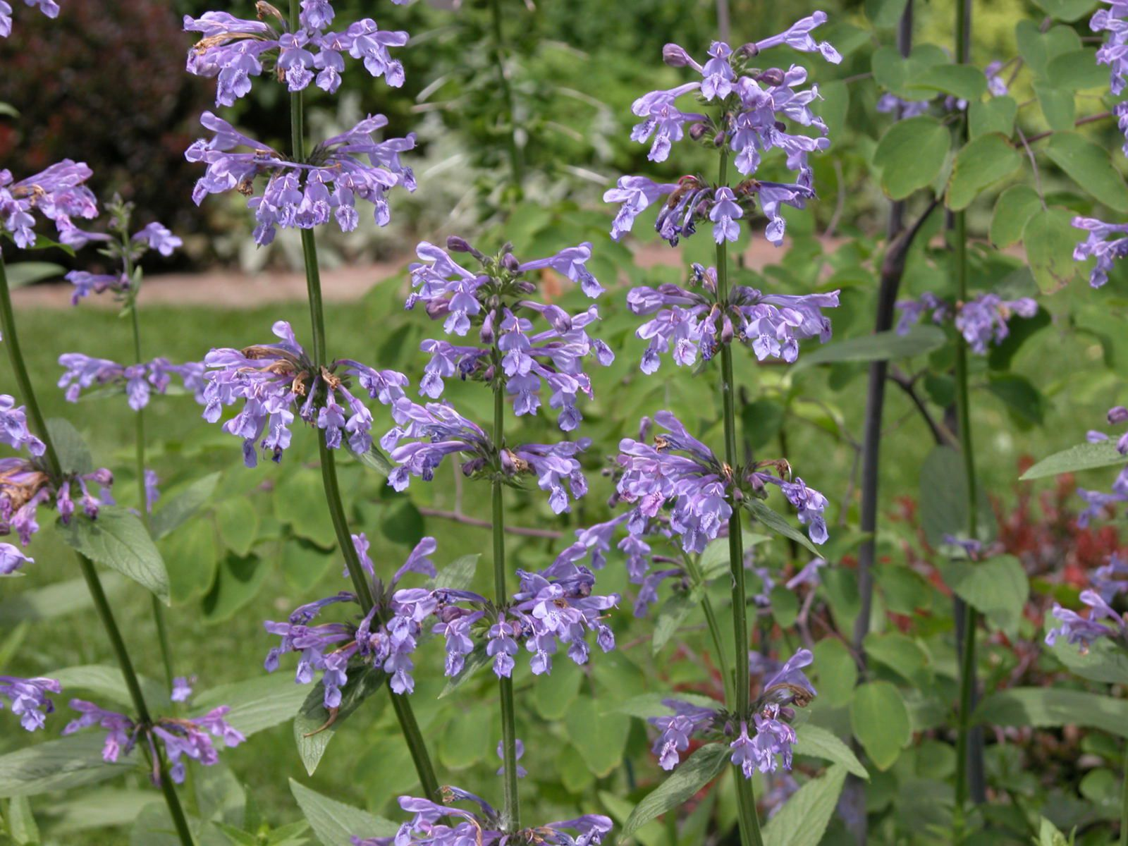 Catmint Nepeta Plants Care And Growing Guide