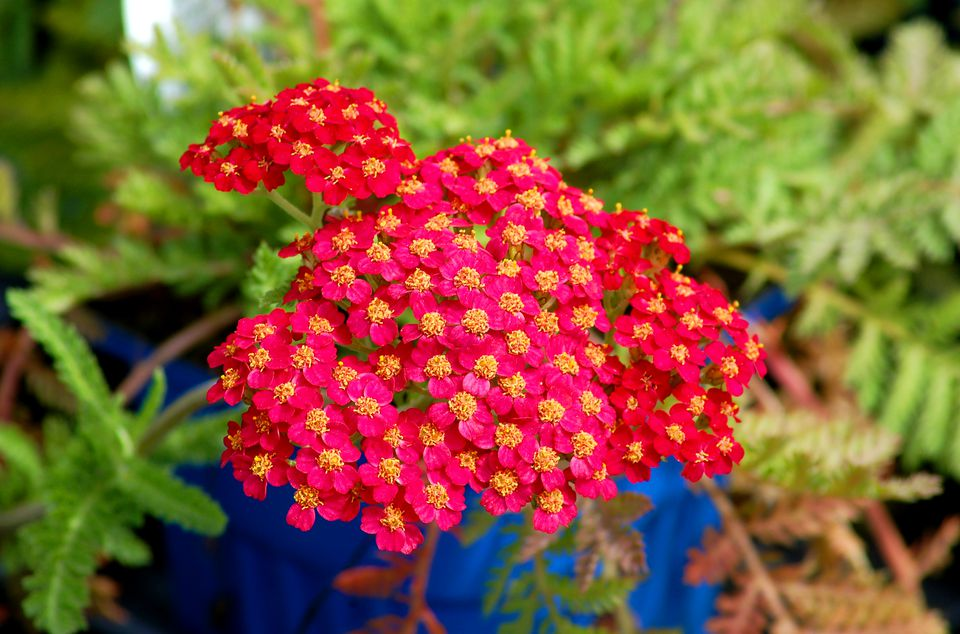 Perennial flowers that bloom all summer paprika image is a red type of yarrow the plant is also known mightylinksfo