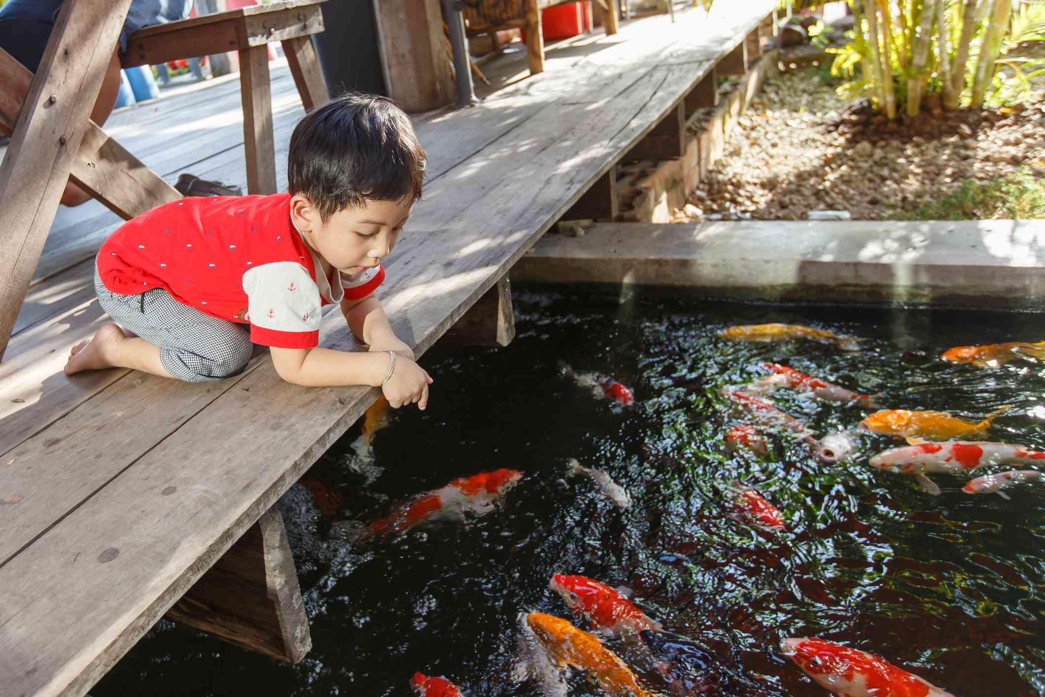 A child kneeling down on a wood platform to view koi fish.