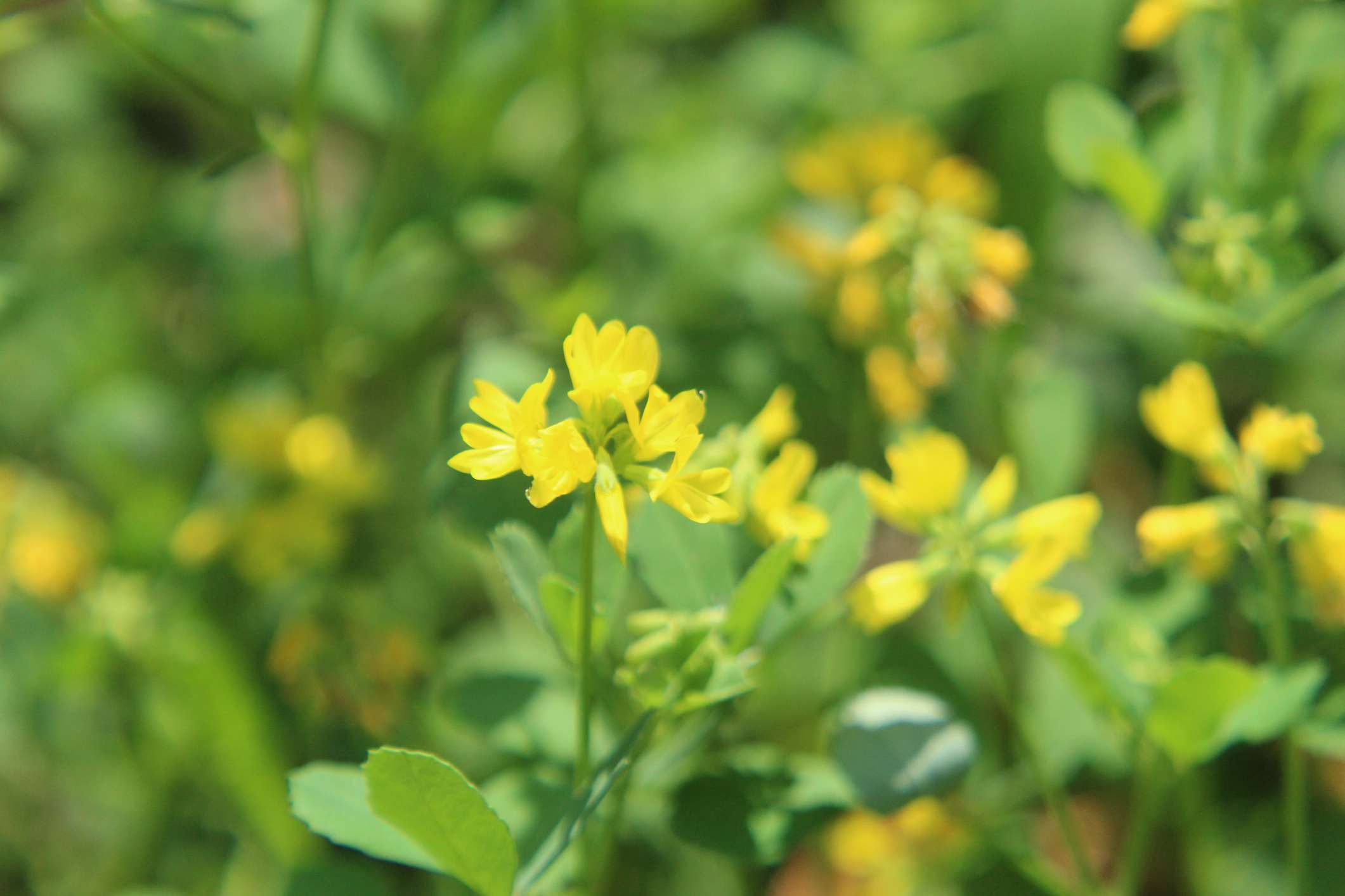 Fenugreek plants in bloom