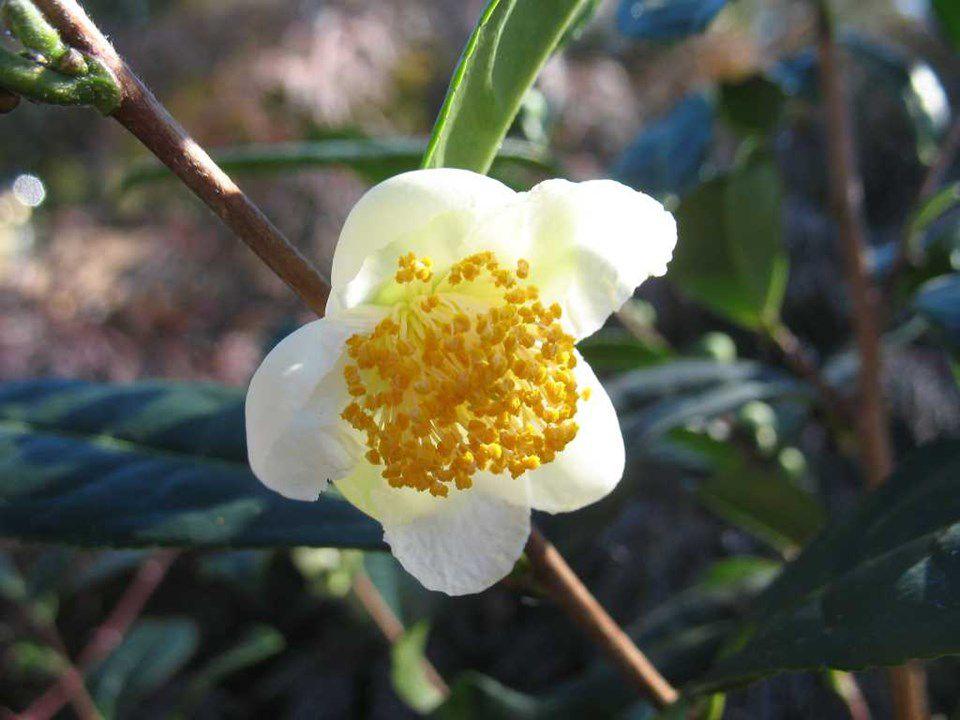 Tea Plant, Camellia Sinensis