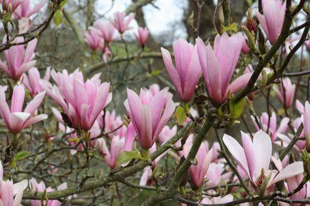 Plant Profile Lily Magnolia Magnolia Liliflora
