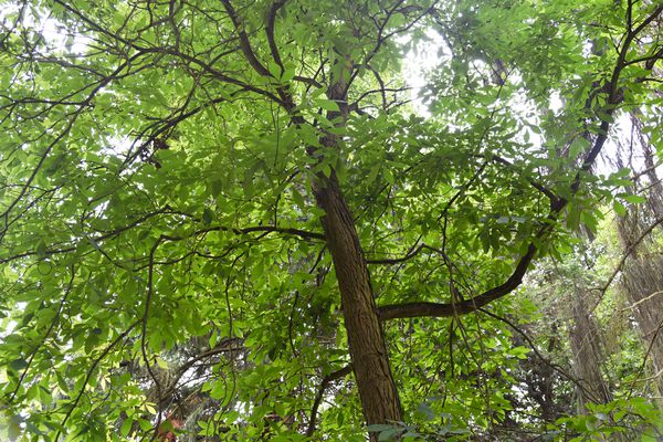 Shagbark hickory tree with tall dark trunk and sprawling branches with green leaves