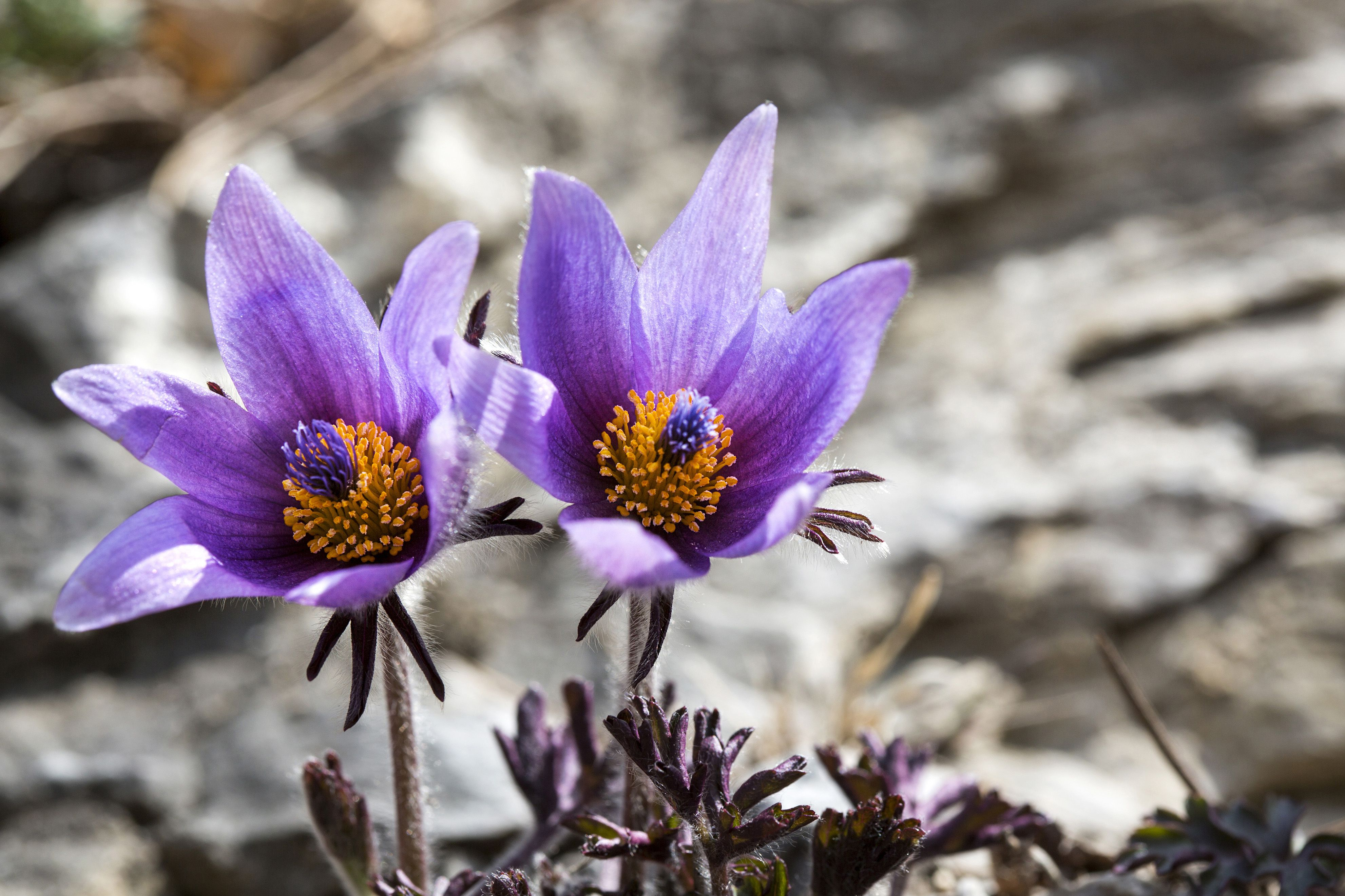 Pasque Flower Growing Profile
