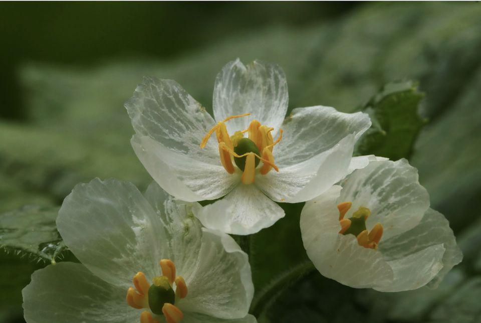 Skeleton flower petals become transparent after it rains