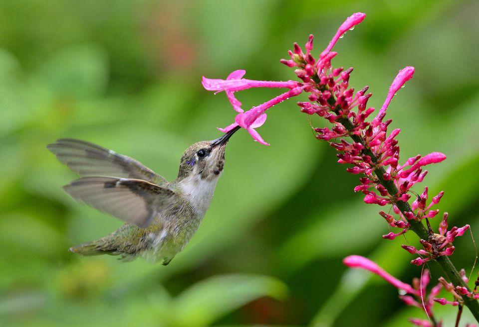 Costas Hummingbird feeding on Fire Spike Flowers