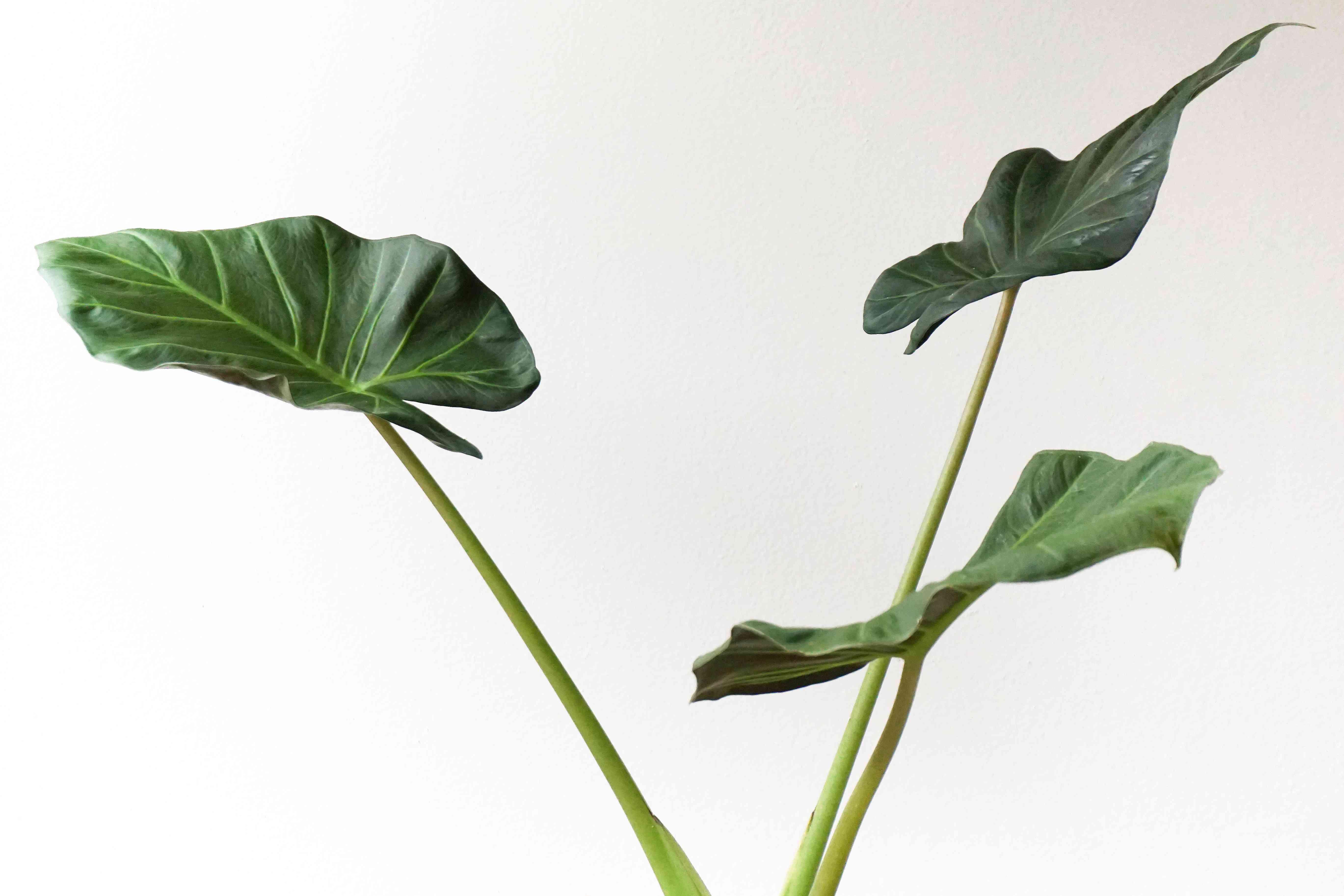 Alocasia macrorrhizos leaves
