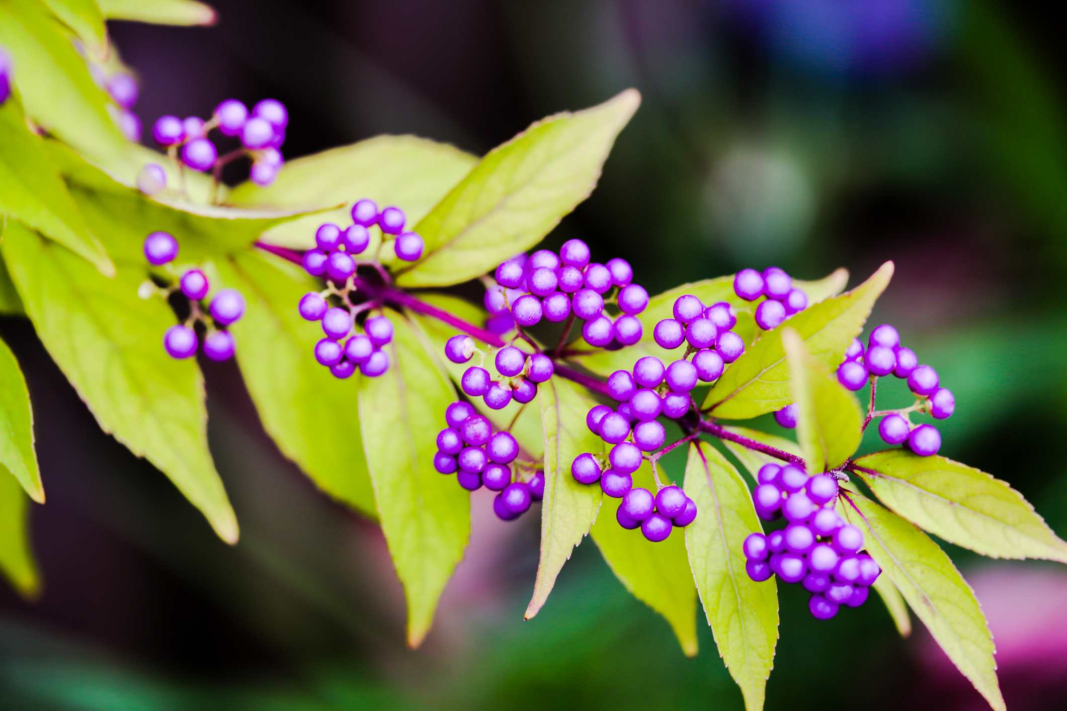 Beautyberry shrub branch with purple berries.