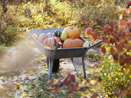 pumpkins in wheel barrow in garden varmdo uppland sweden - Fall Vegetable Garden