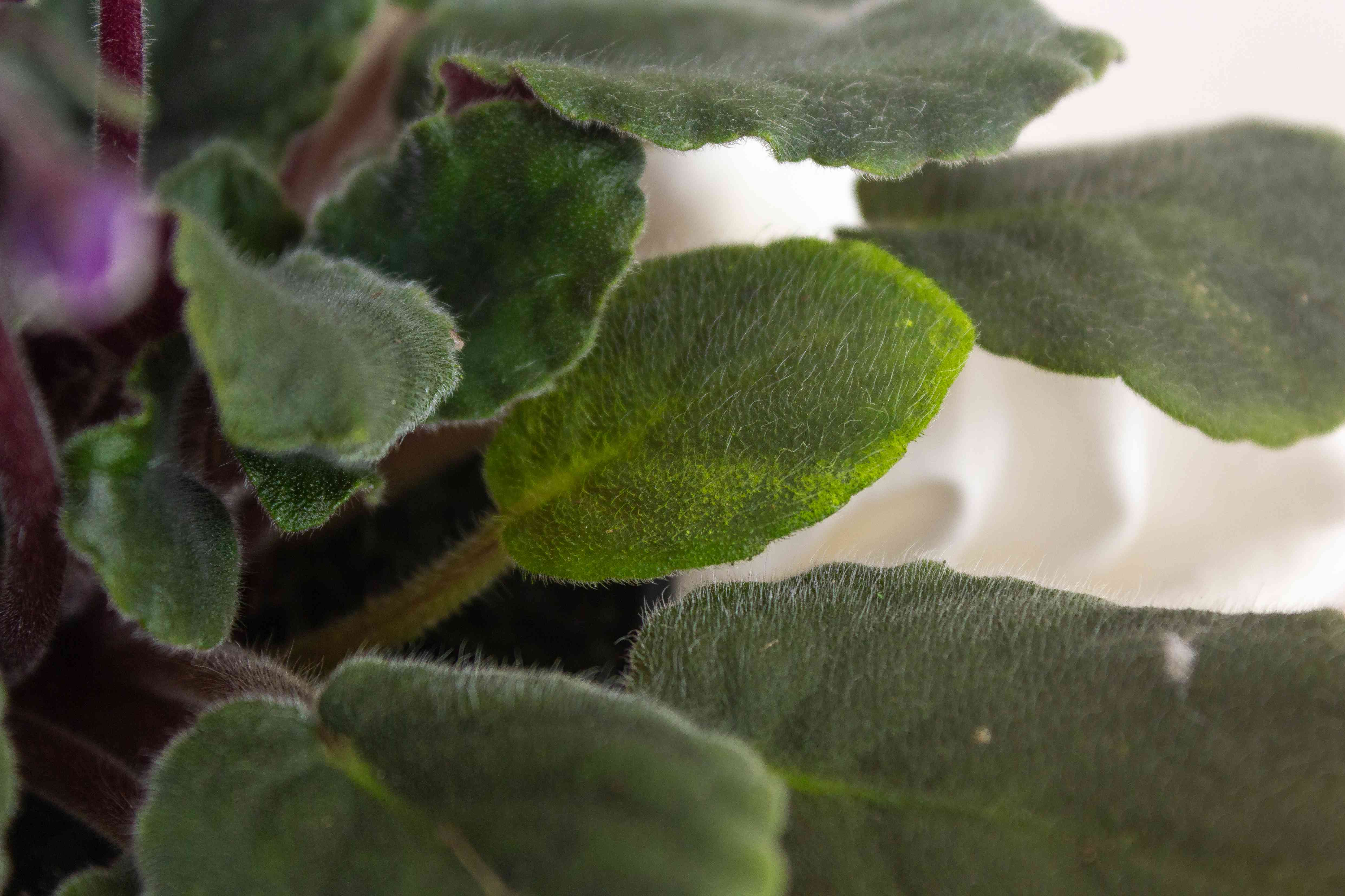 closeup of African violet leaves