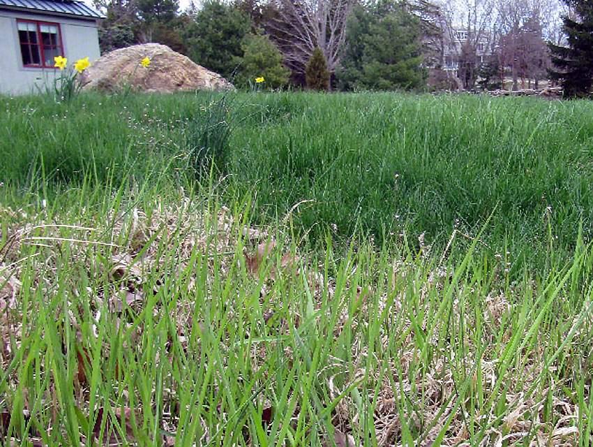 Weeds invade grass