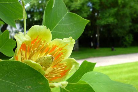 Growing the tulip tree in the home garden liriodendron tulipifera with dogs mightylinksfo