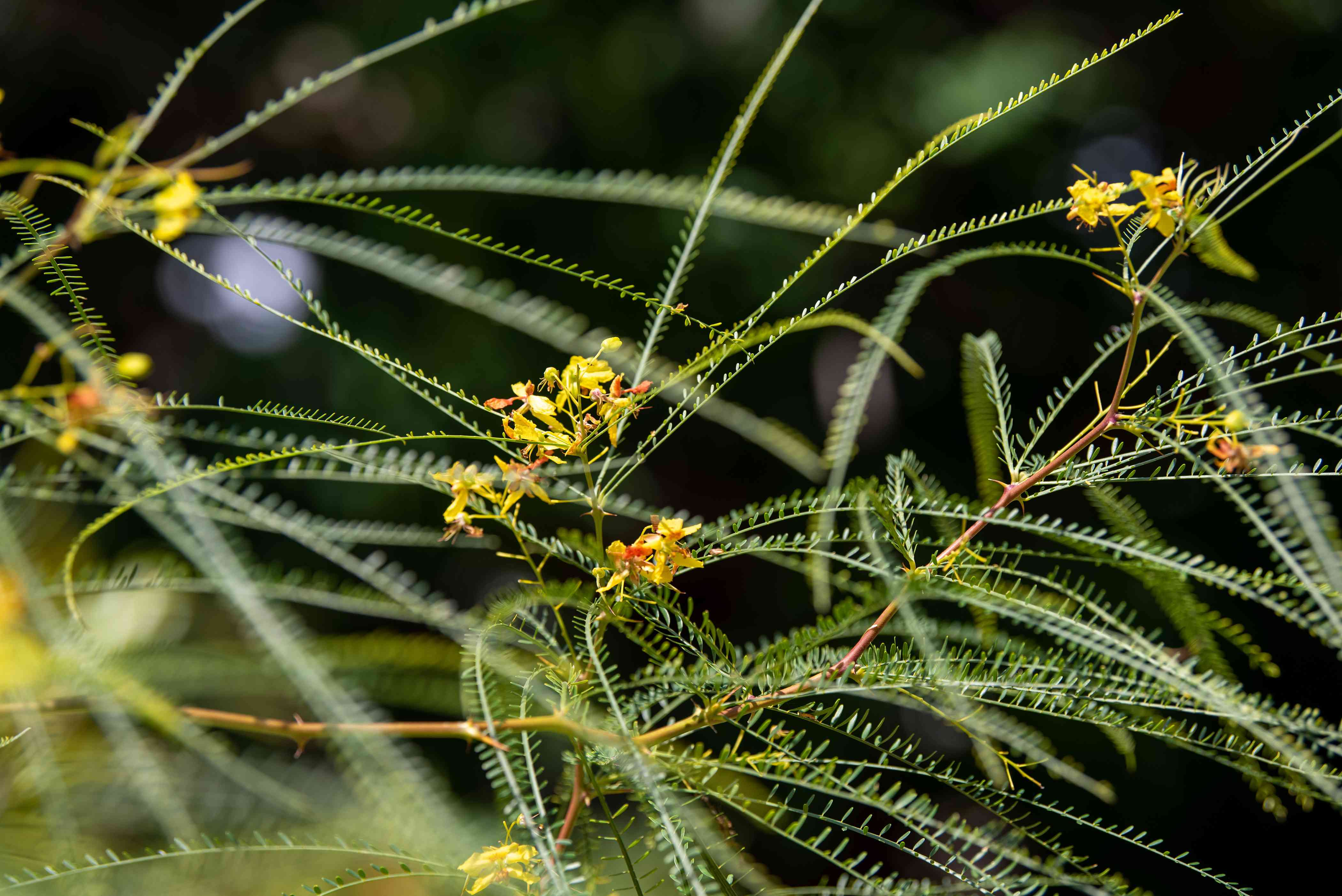 Palo verde tree with thin feather-like branches and small yellow flowers closeup