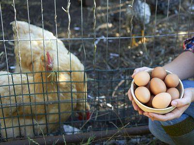 How to Safely Clean Your Own Chicken Eggs