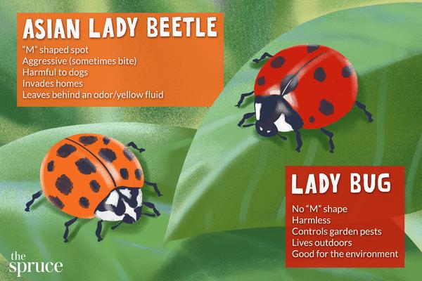 asian lady beetle and lady bug