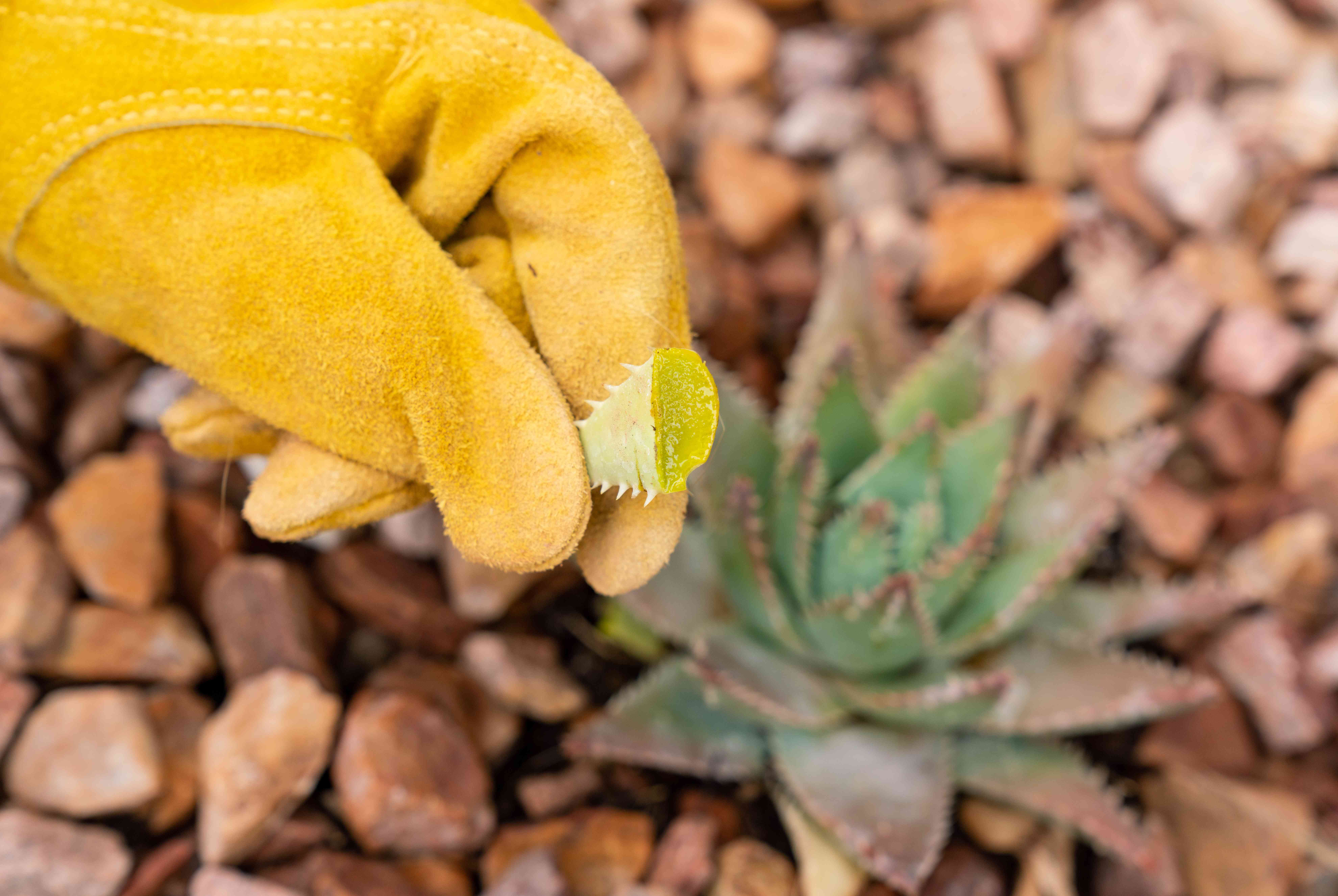 Aloe vera leaf cut and held up with yellow gloves above aloe vera plant