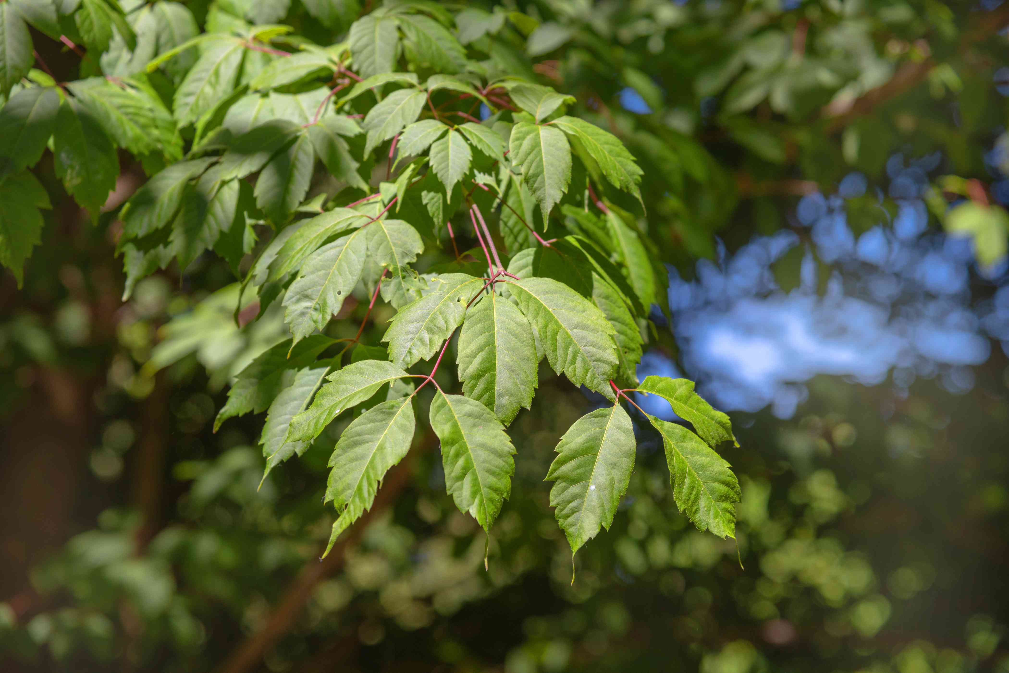 Vine leaf maple tree branch with trifoliate leaves on red stems