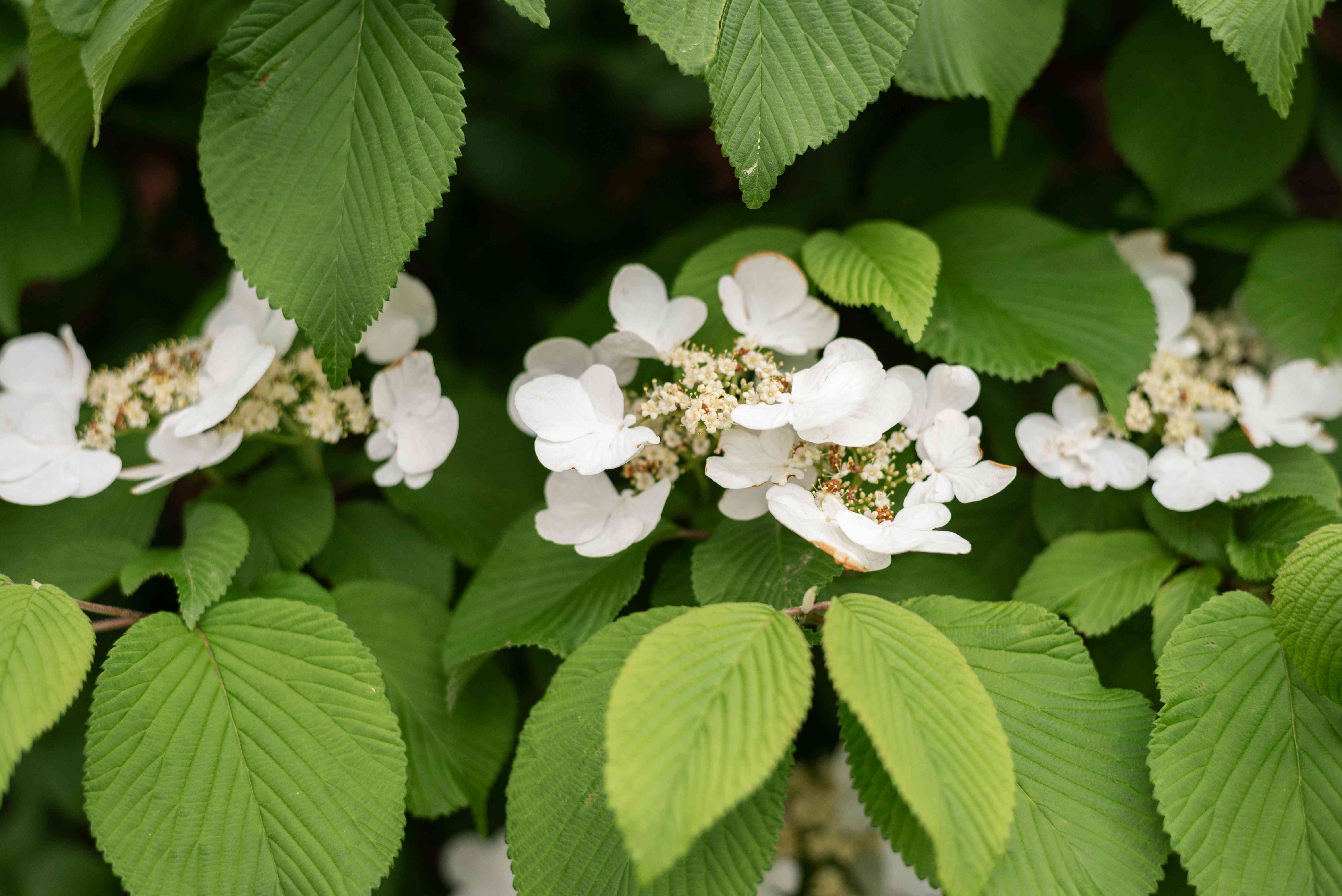 Climbing hydrangea with small white flower clusters in between ribbed vines