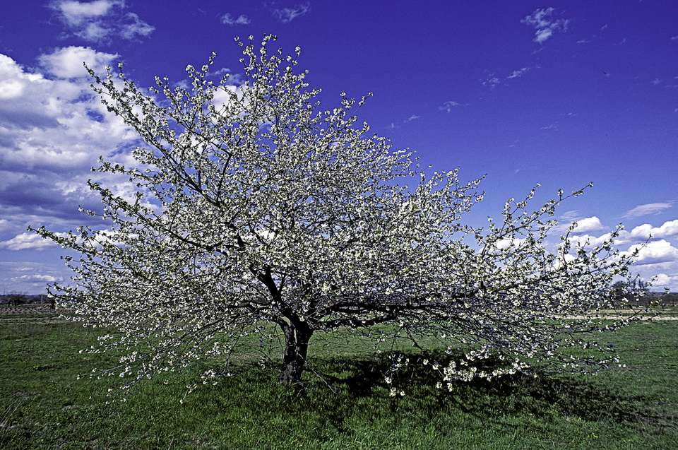 Sweet cherry tree in blossom with blue sky