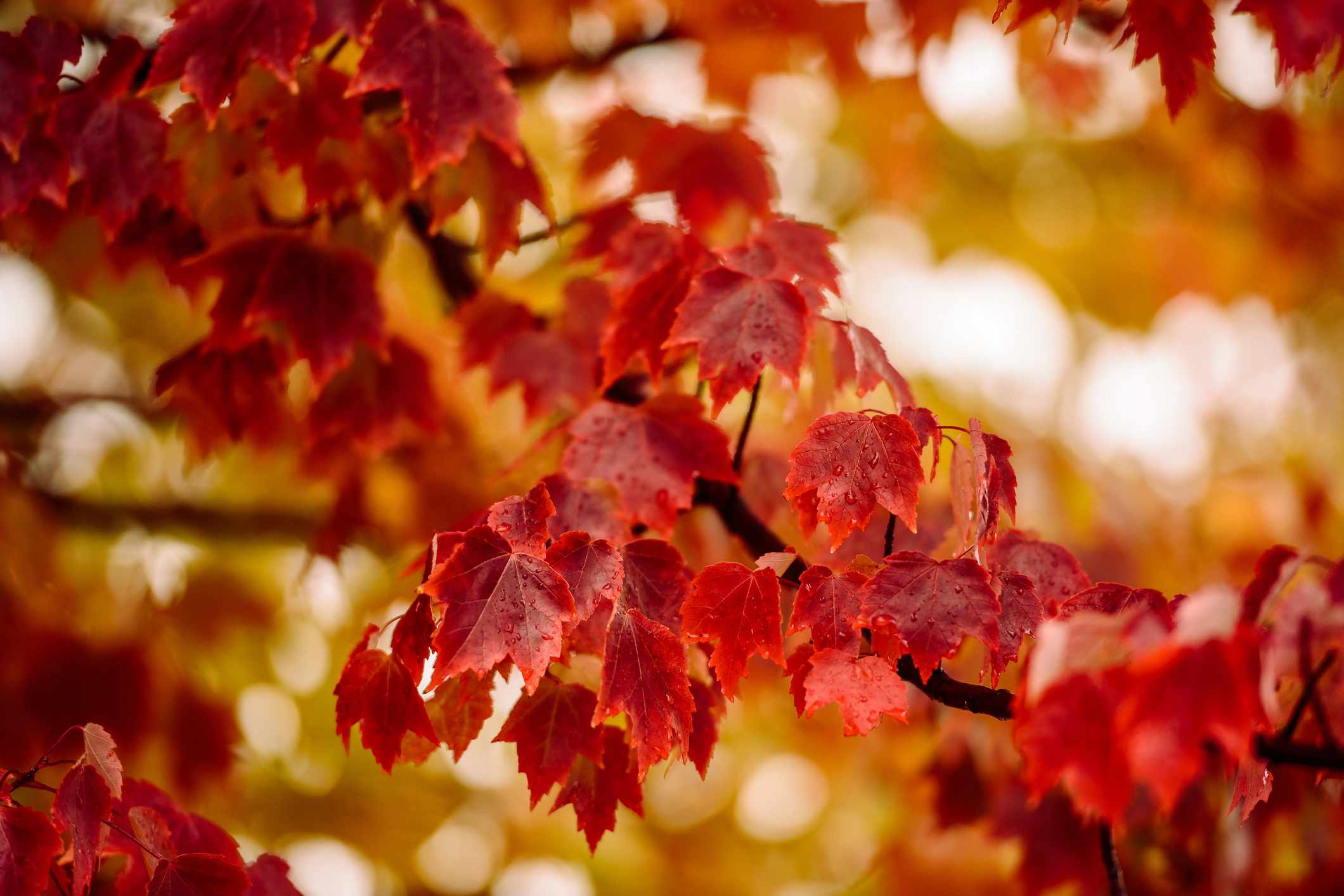 Branch Of Red Maple Tree Showing Color Its Fall Leaves