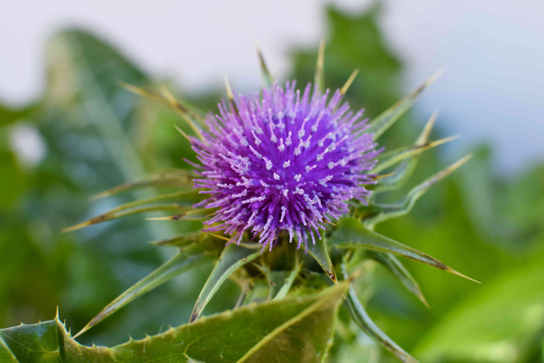 Milk thistle with purple flower closeup