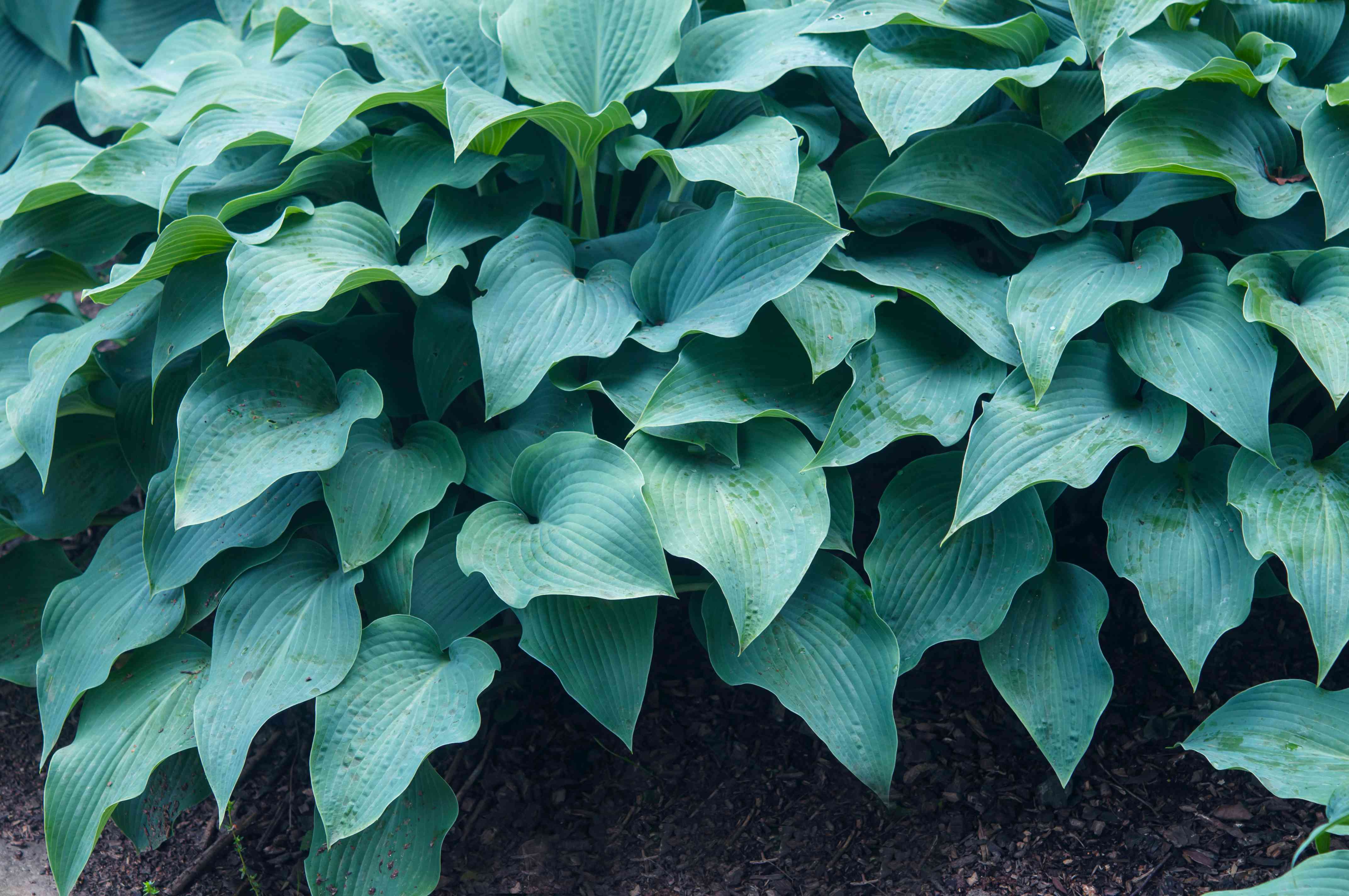 Halcyon hosta plant with blue-green leaves closeup