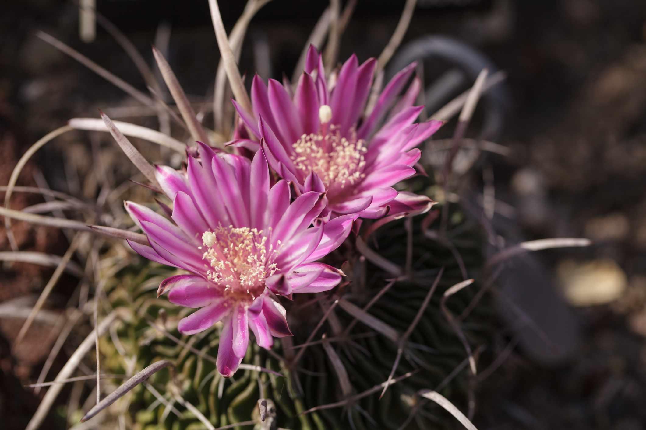 blooming stenocactus