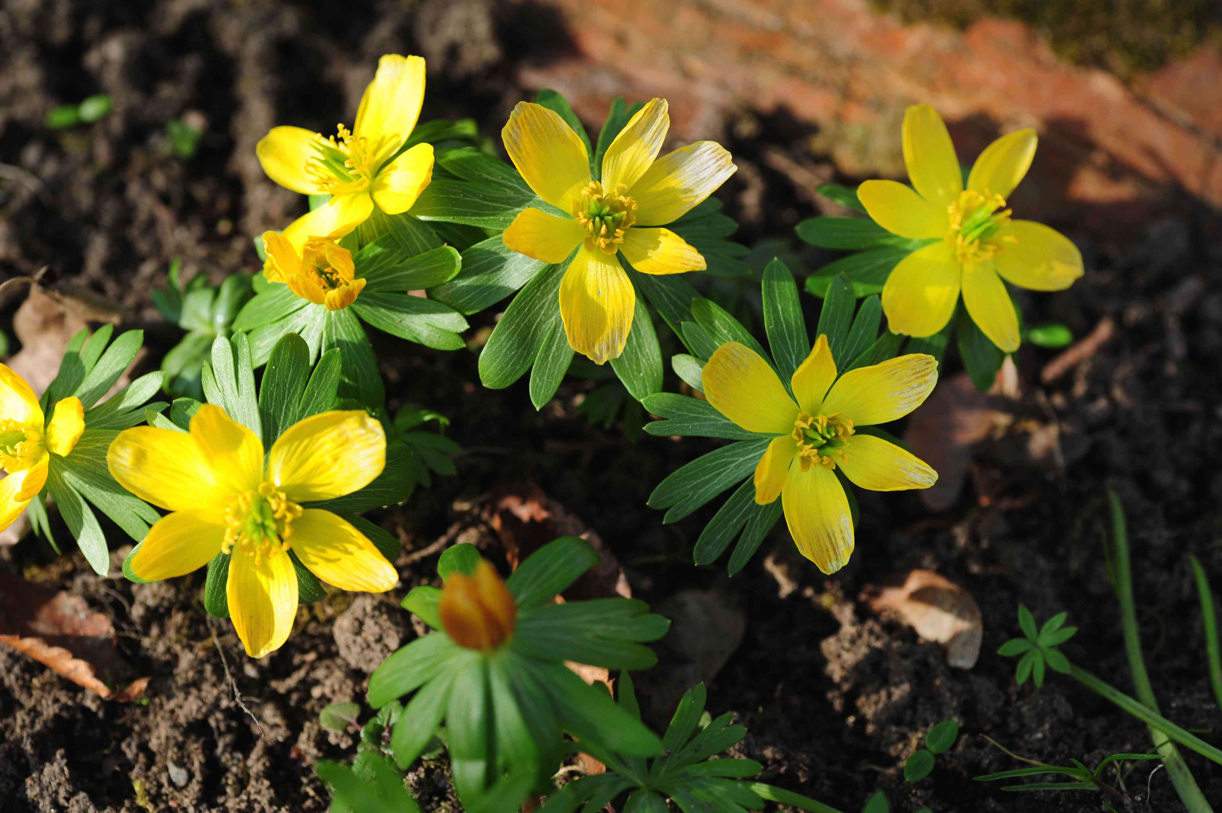 Winter aconite plant with bright yellow flowers and radiating leaves underneath closeup