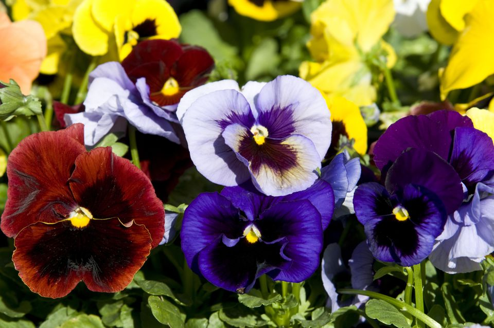 Red, Yellow, and Blue Pansies