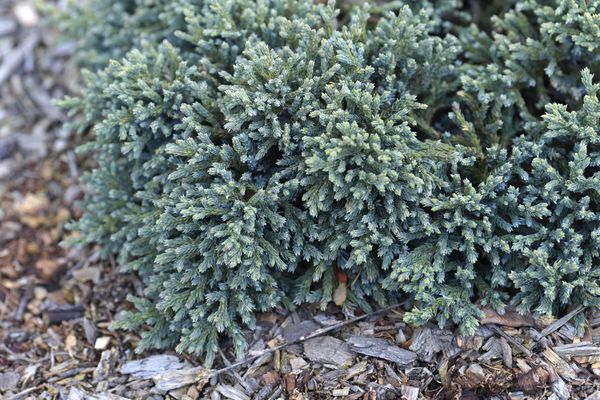 Blue star juniper shrub with silvery-blue, densely-packed needles above mulch