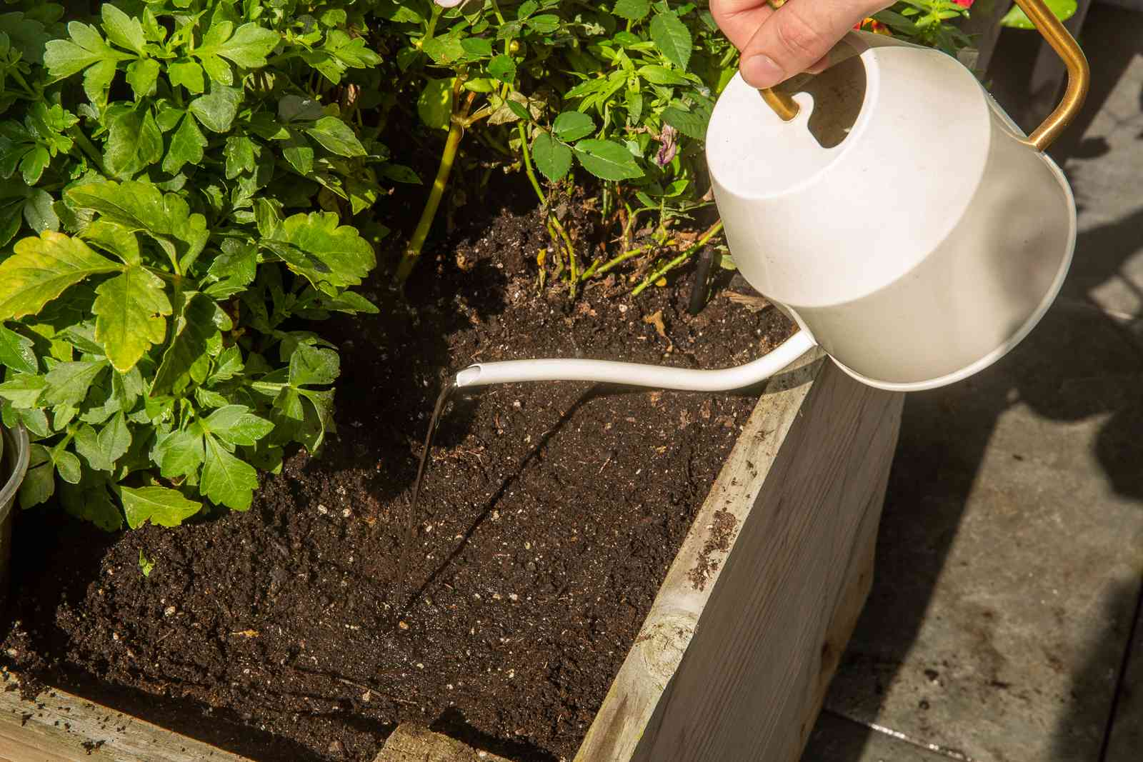 White watering can pouring water into raised garden bed with summer bulbs