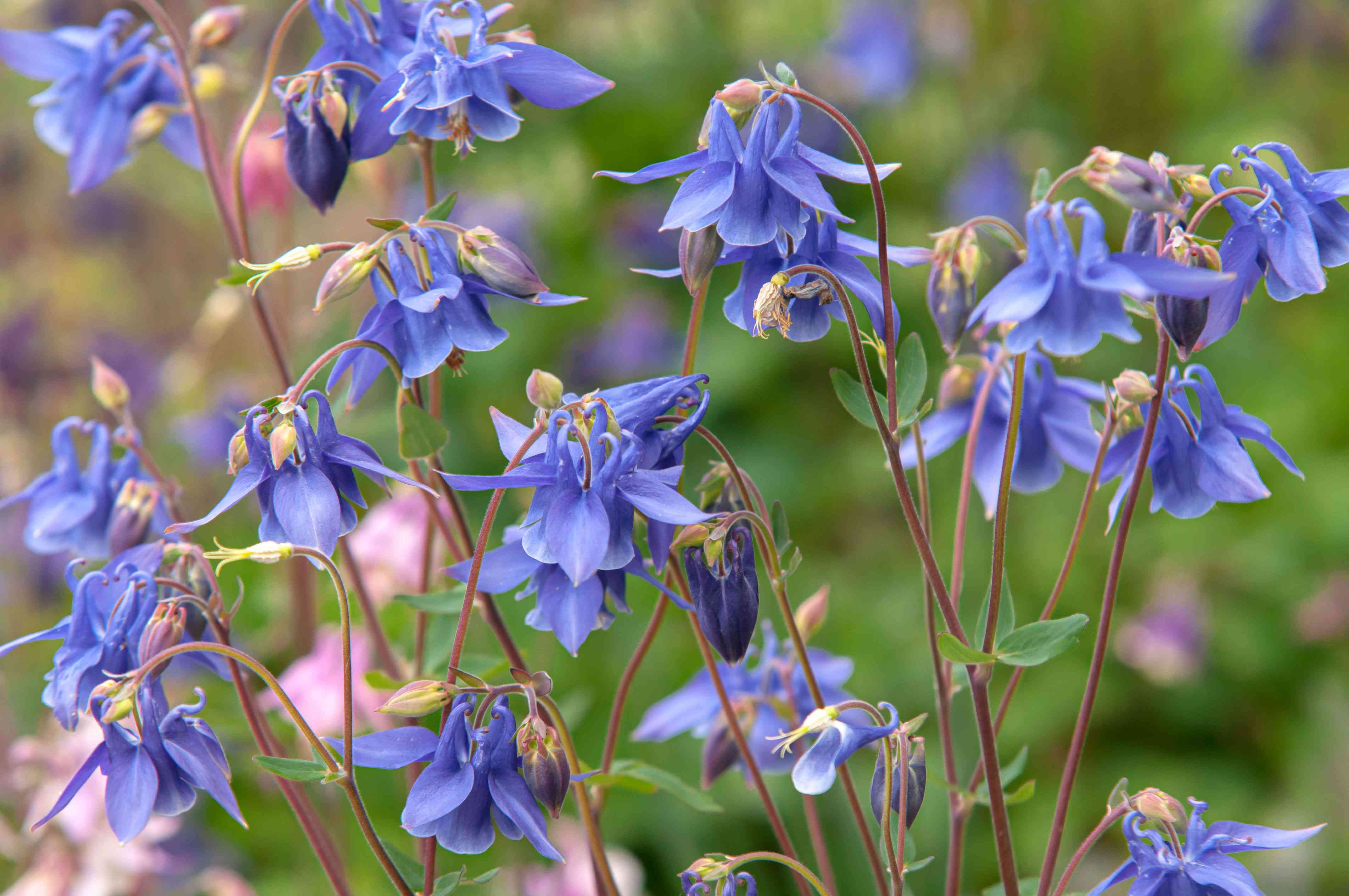 Columbine plant with blue-purple flowers on thin red stems