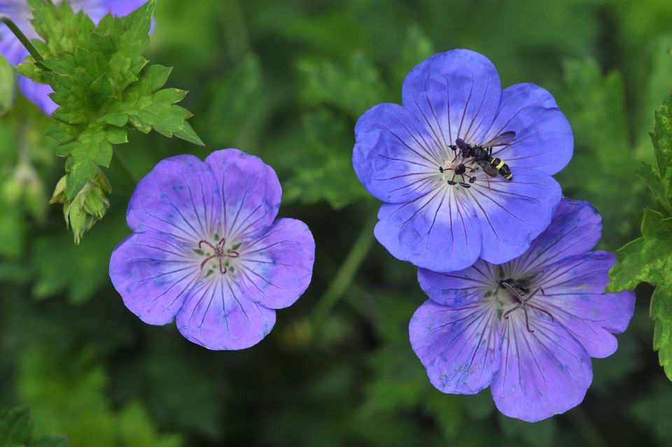 Geranium rozanne flowers with purple and blue petals and leaves closeup