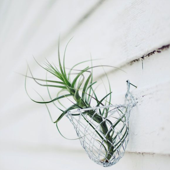 Air plant in a basket