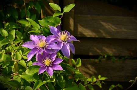 When to prune clematis plants spring bloomers spring blooming clematis mightylinksfo