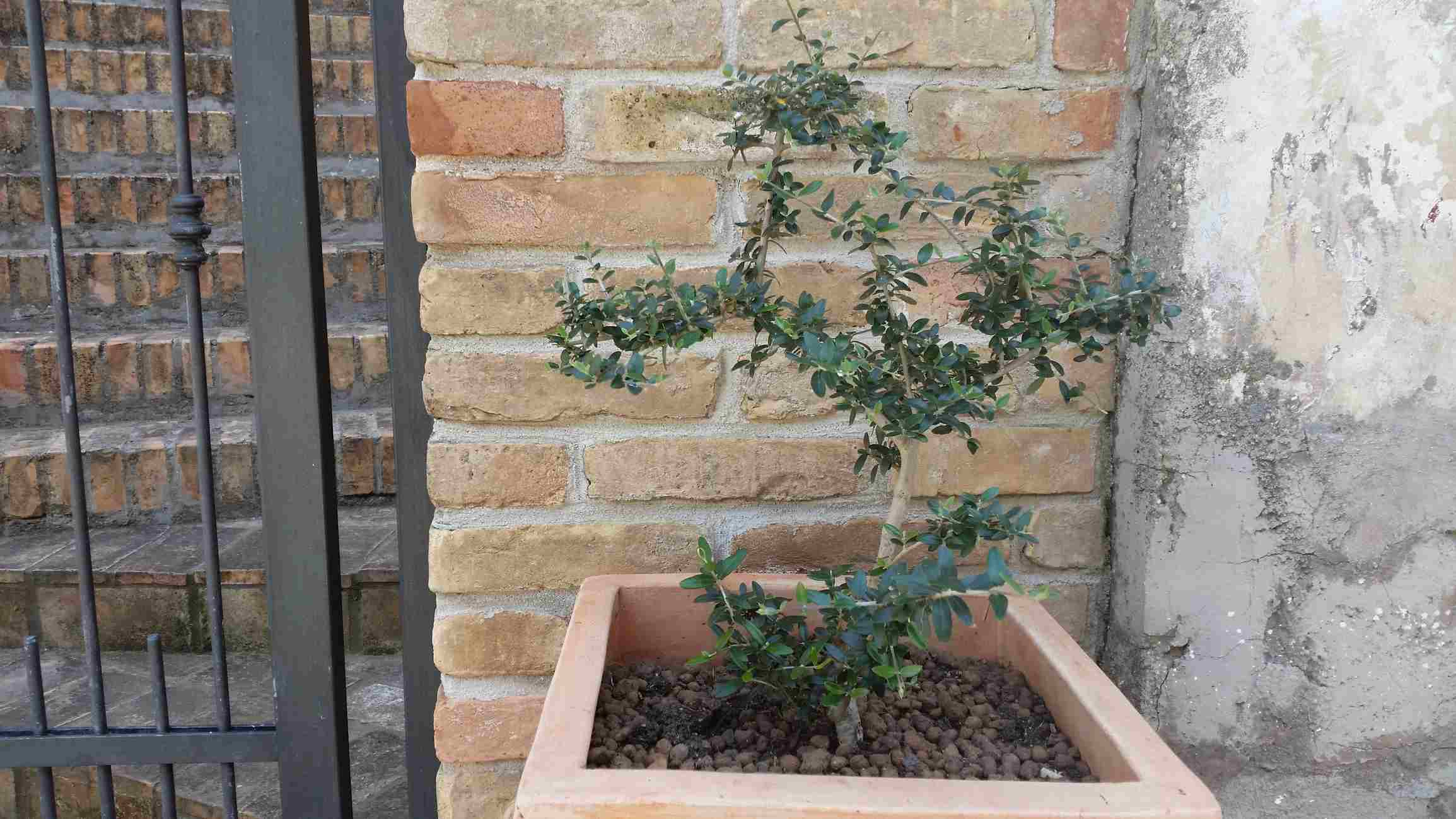 Young Arbequina olive tree in a planter