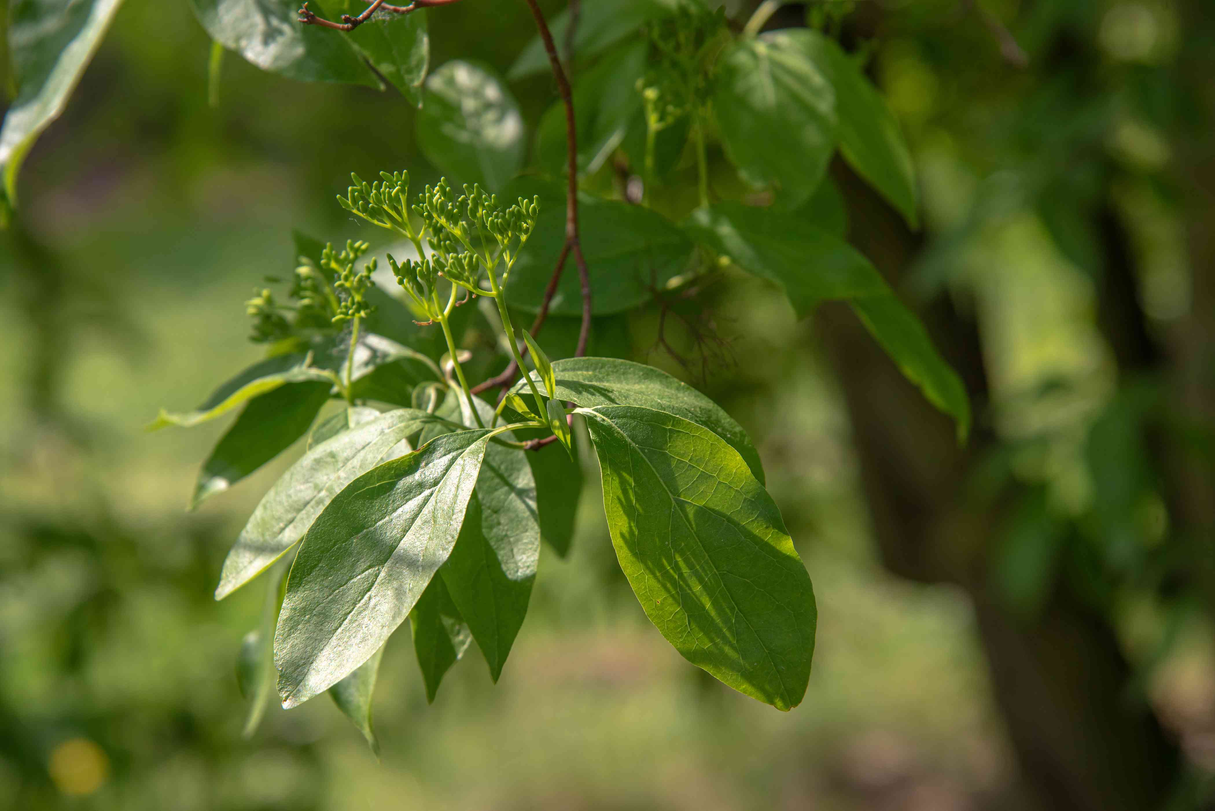 Gray dogwood branch with bright green leaves and buds closeup