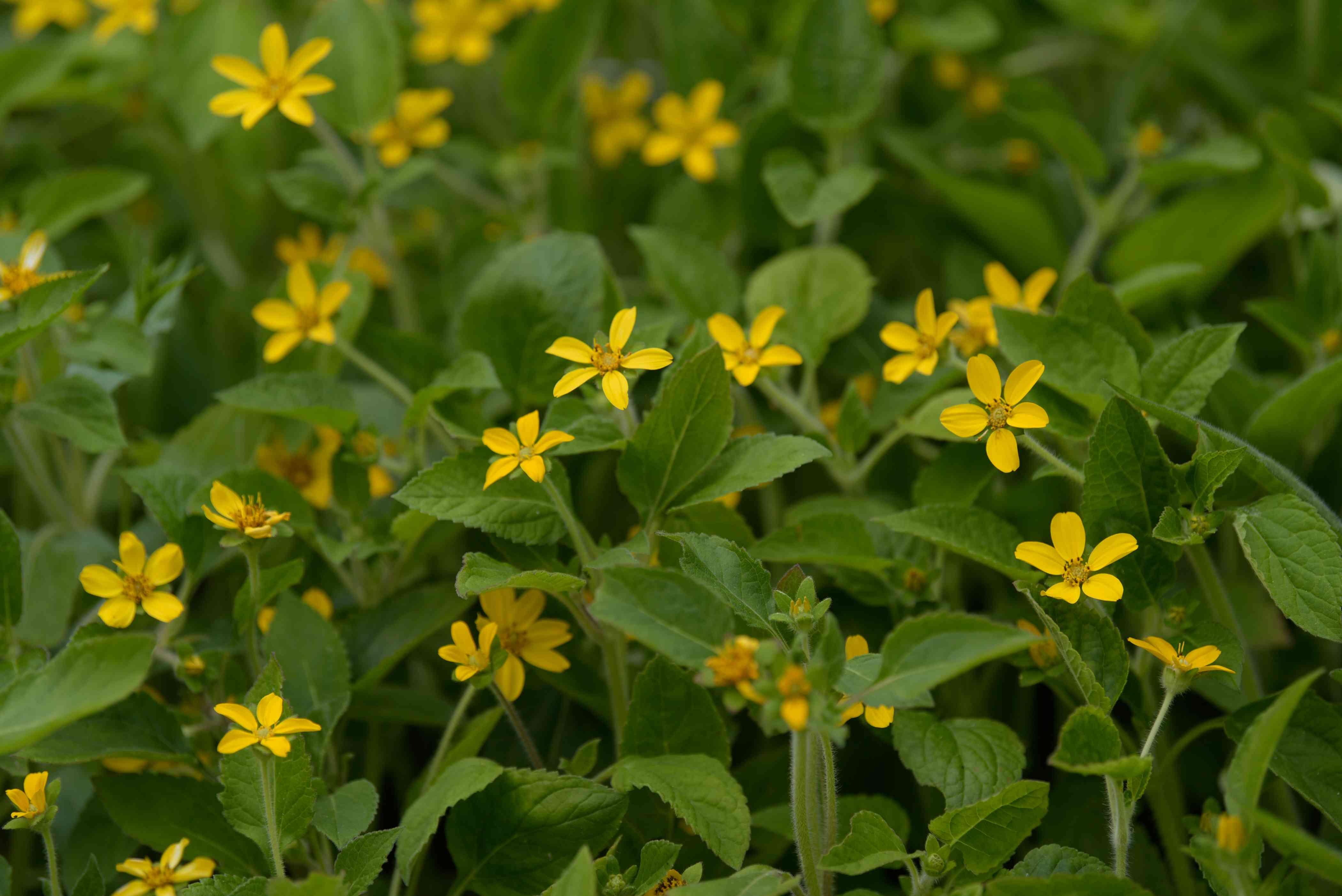 Goldenstar plant with small yellow star-shaped flowers mixed with leaves