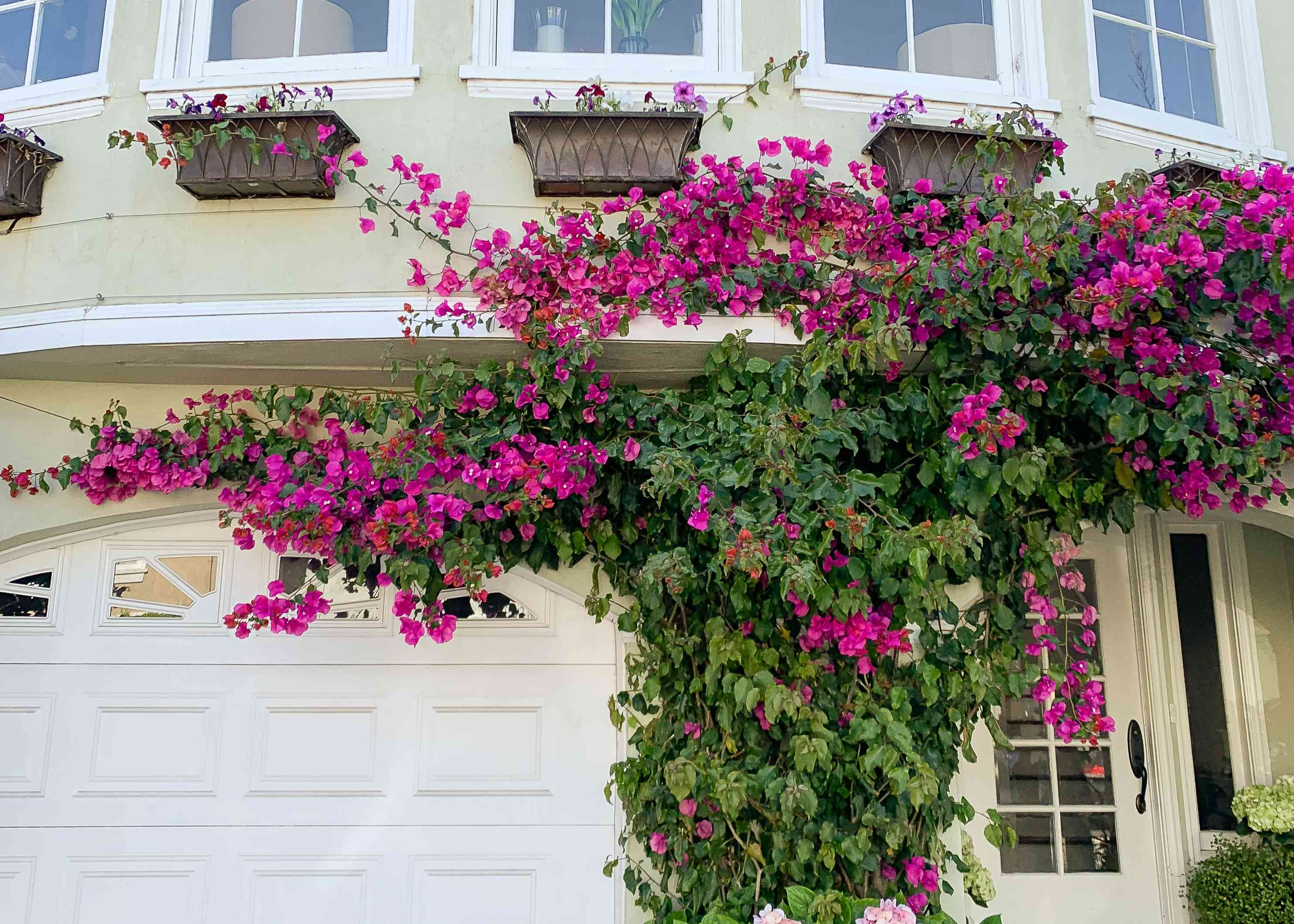 bougainvillea on the exterior of a house