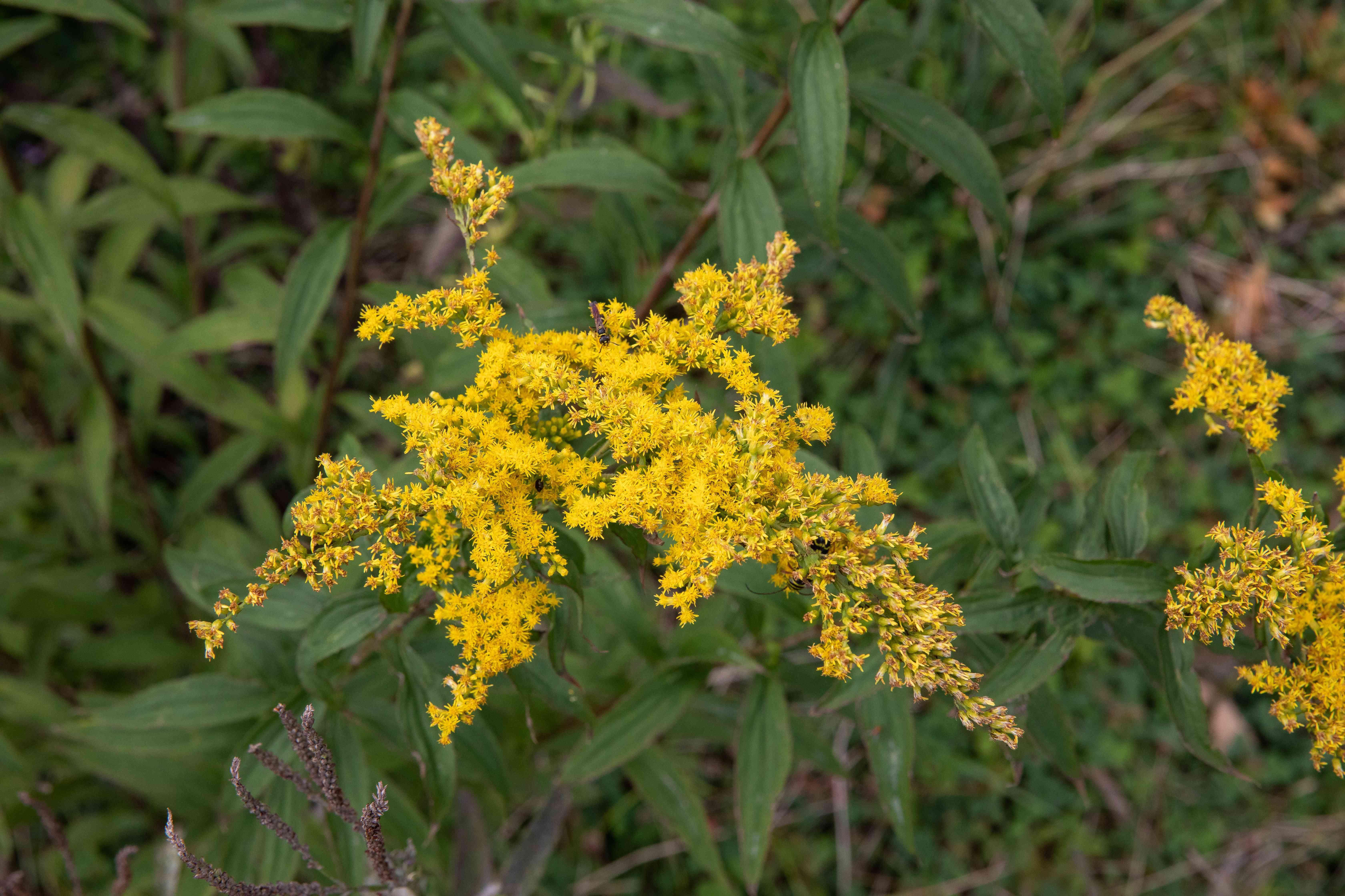 closeup of goldenrod