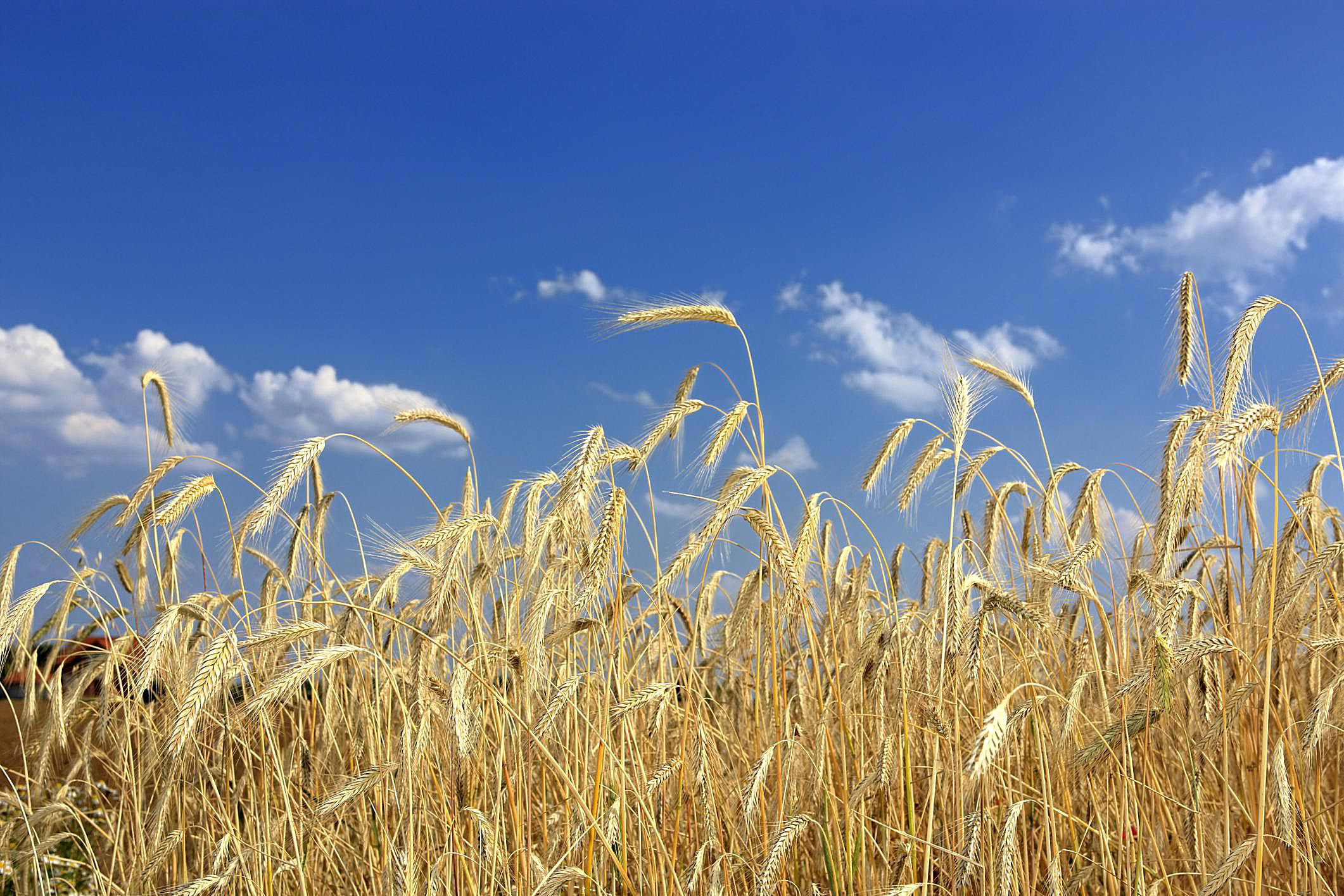 Centeno (Secale cereale)