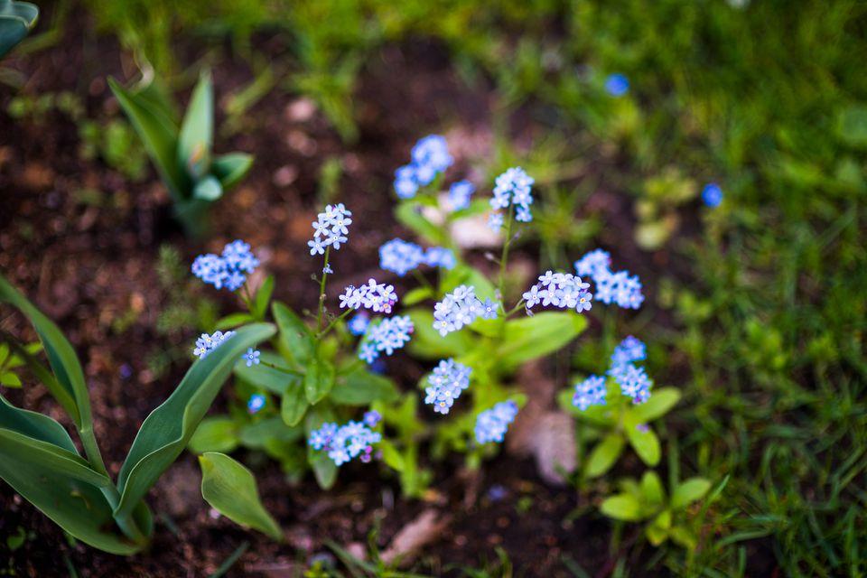 Hepatica transsilvanica in a garden setting