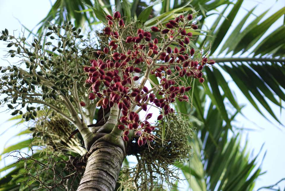 Christmas palm tree with red drupe fruit
