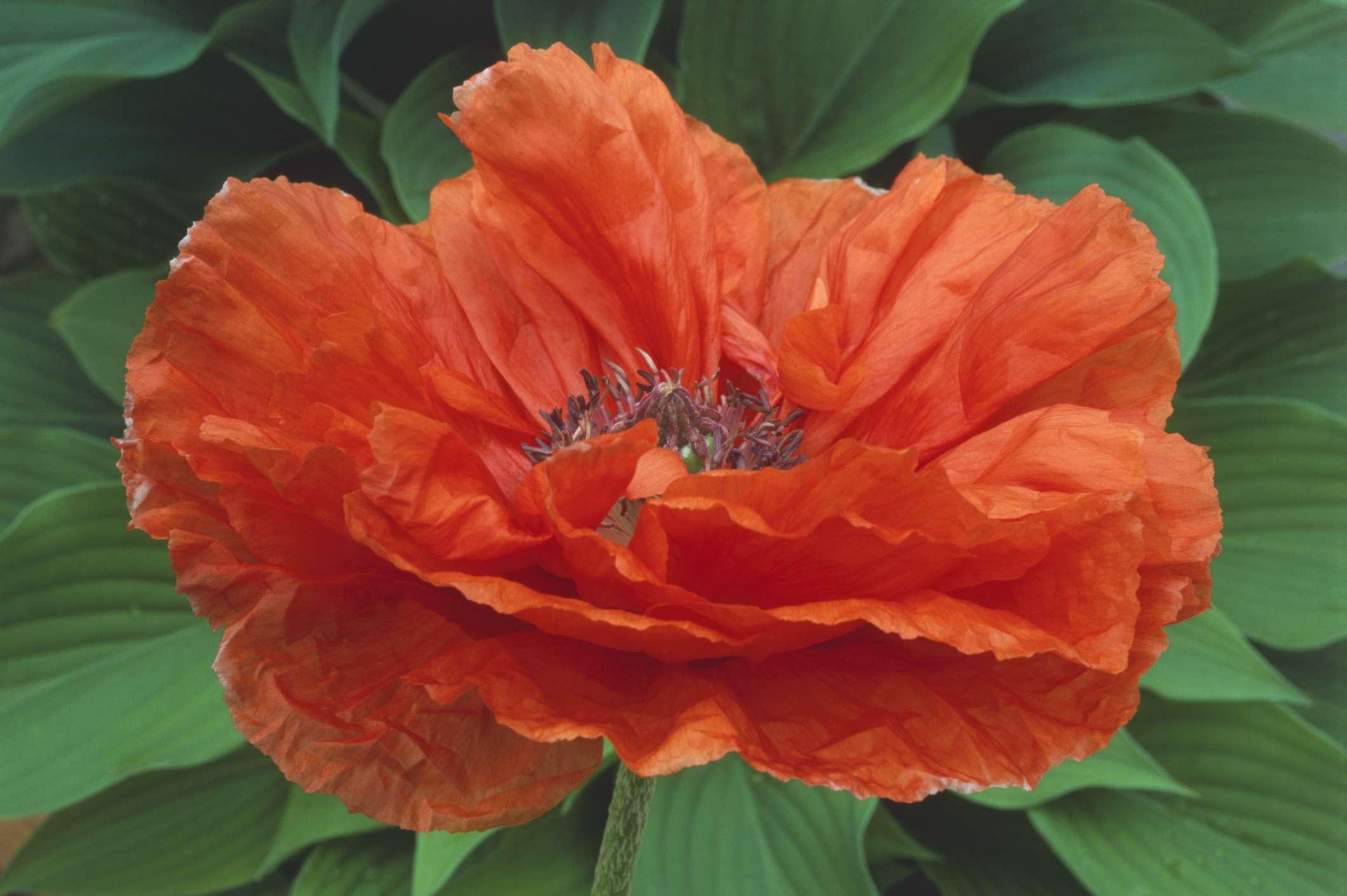 Orange Glow Poppy