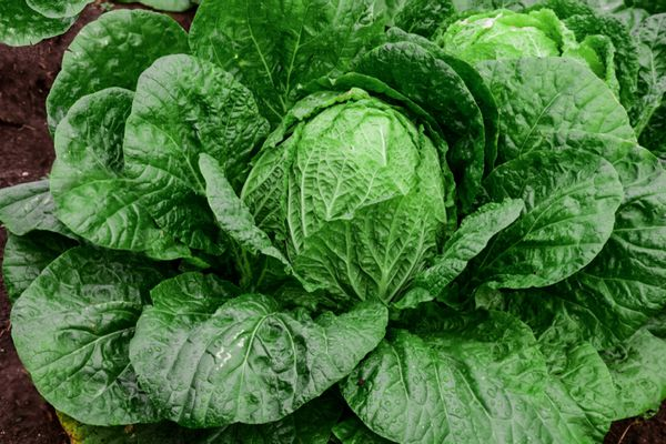 Napa cabbage plant with green leaves surrounding large head